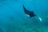 Manta ray underwater shot