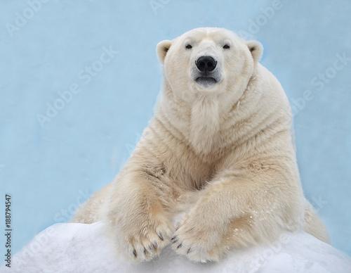 Fotobehang Antarctica Белый медведь лежит на снегу.