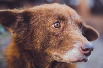Close up of a brown dog.