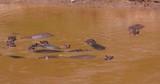 Hippopotamuses In Talek River; Maasai Mara Day 3; Maasai Mara, Kenya, Africa - 188825911