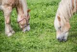 grasende Pferder auf Weide