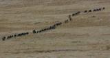 Blue Wildebeest Migrating In Line; Maasai Mara 5th Sept 16; Maasai Mara, Kenya, Africa - 188830346