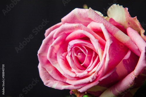 Foto Murales beautiful pink rose on a black background