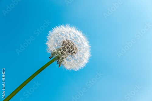 Obraz na płótnie Dandelion seed head against blue sky with copy space