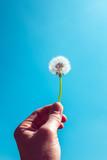 Dandelion seed head held by hand against blue sky