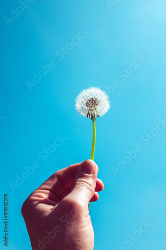 Fotobehang Paardenbloemen Dandelion seed head held by hand against blue sky