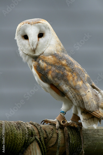 Barn owl resting on wooden pole