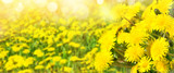 Bright spring background. Beautiful natural background for design with blooming dandelions.