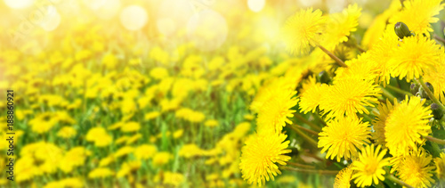 Papiers peints Jaune Bright spring background. Beautiful natural background for design with blooming dandelions.
