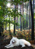 White dog samoyed in the summer forest - 188863312