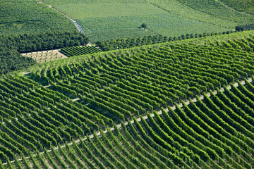 Green vineyards on hill in a sunny day, Piedmont