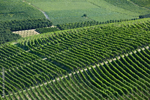 Foto op Canvas Olijf Green vineyards on hill in a sunny day, Piedmont