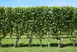 Vineyard, vines hedge in a sunny day