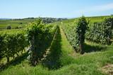 Vineyards near Barolo, sunny day in Italy