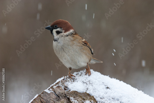 Leinwandbild Motiv Feldsperling im Schneefall