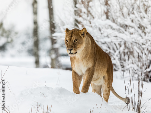 Lion Panthera Leo Lioness Standing In Snow Looking To The Left