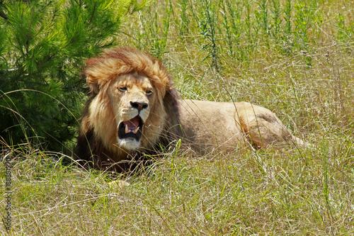 Fotobehang Lion Lew South Africa