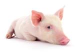 Pig on white - 188903505