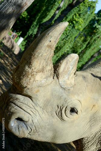 Fotobehang Neushoorn Rhino horn