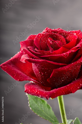 Single red rose with water drops close-up