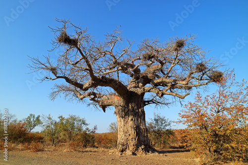 Foto op Canvas Baobab Baobab tree during the dry season, Kruger National Park, South Africa