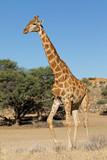 A giraffe (Giraffa camelopardalis) in natural habitat, Kalahari desert, South Africa - 188922967
