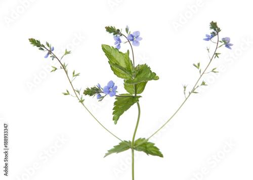 Veronica plant isolated on white background buy photos ap veronica plant isolated on white background mightylinksfo