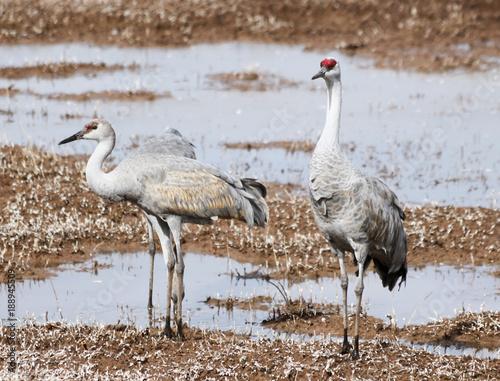 Papiers peints Cappuccino A Group of Sandhill Cranes at a Pond