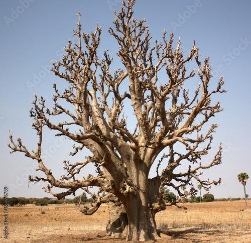 Tuinposter Baobab African baobab