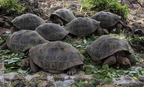 Aluminium Schildpad Baby Giant Tortoises, Galapagos