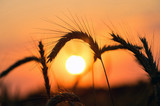 Wheat field on sunset background. Mature ears of wheat close-up against the backdrop of the setting sun