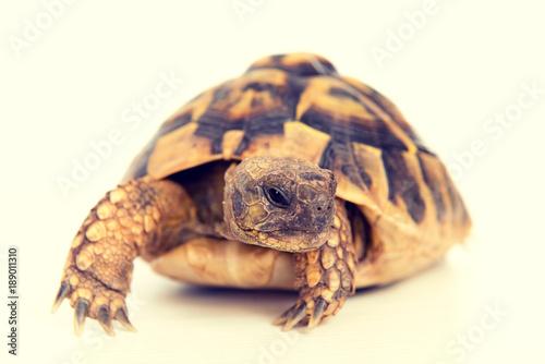 Aluminium Schildpad turtle in front of white background