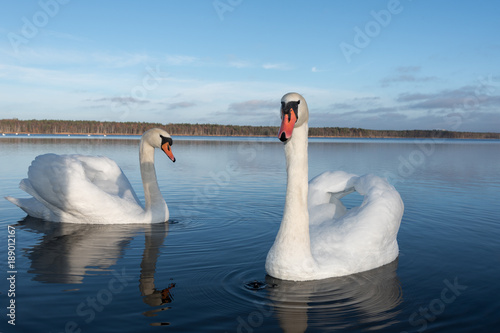 Swans in lake.