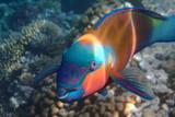 Papageienfisch im Roten Meer Ägypten