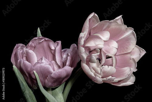 Fine art still life pastel color macro flower portrait of two isolated pink violet fully wide opened blooming tulip blossoms on black background with detailed texture