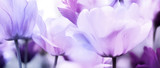 Fototapeta Tulipany - tulips pink violet ultra light © bittedankeschön