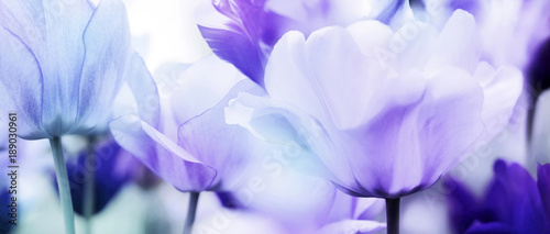 Aluminium Tulpen tulips cyan violet ultra light
