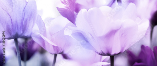 canvas print picture tulips pink violet ultra light