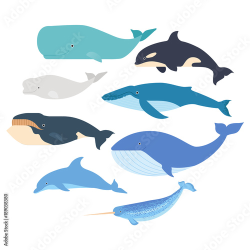 Fototapeta Whales and dolphin set. Marine mammals illustration. Narwhal, blue whale, dolphin, beluga whale, humpback whale, bowhead and sperm whale vector isolated