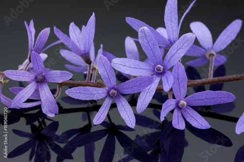 Panel Szklany purple flowers background ( purple wreath or queen's wreath or sandpaper vine or petrea volubilis )