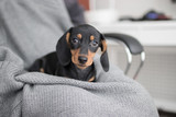 puppy Dachshund on grey knitted background lies and looking at the camera - 189041767