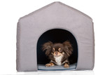 brown chihuahua dog resting in a pet house