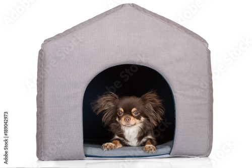 brown chihuahua dog resting in a pet house Poster
