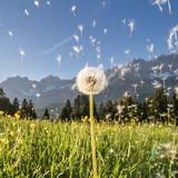 die Samen der Pusteblume im Winde verweht
