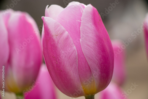 Fotobehang Roze Fast blooming ice tulip