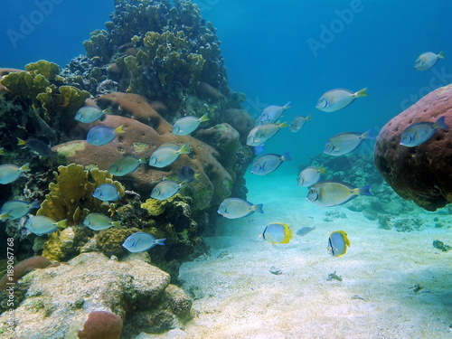 School of fish surgeonfish and doctorfish underwater on a coral reef, Caribbean sea