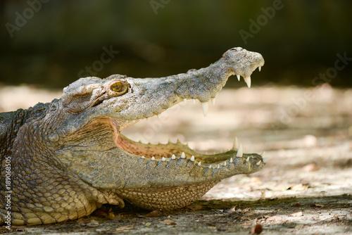 Foto op Plexiglas Krokodil Crocodile mouth
