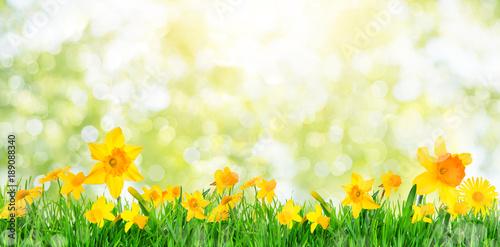 Wielkanocnej karty tła daffodils daffodils natura