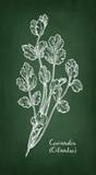 Coriander chalk sketch. - 189090335