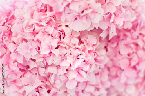hortensja-rozowy-tlo-kwiaty-kwitna-wiosna-i-latem-o-zachodzie-slonca-w-miejskim-ogrodzie